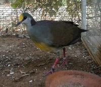 Celebes Quail Dove Young female Gallicolumba tristigmata