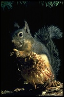 : Tamiasciurus douglasii; Chickaree Or Douglas' Squirrel