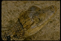 : Caiman crocodilus; Common Caiman