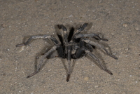 : Calisoga sp.; Funnel Web Spider
