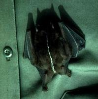 Image of: Platyrrhinus brachycephalus (short-headed broad-nosed bat)