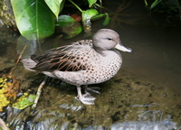 Anas flavirostris - Speckled Teal