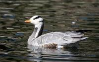 Image of: Anser indicus (bar-headed goose)