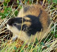 Lemmus lemmus - Norway Lemming