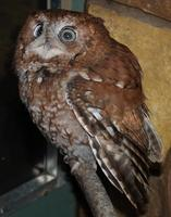 Image of: Otus asio (eastern screech owl)