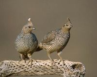 Scaled Quail (Callipepla squamata) photo