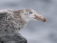 Northern (Hall's) Giant Petrel (Macronectes halli) photo