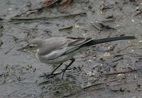 Black-backed Wagtail - Motacilla lugens
