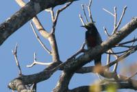 Yellow-tufted  woodpecker   -   Melanerpes  cruentatus   -   Picchio  ciuffogiallo
