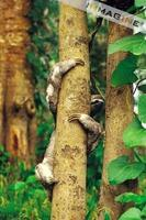 Three Toed Sloth (Bradypus tridactylus) photo
