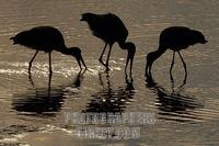 Yellow billed stork silhouettes stock photo