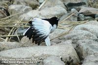 Fig. 18. Japanese Wagtail : 검은등할미새