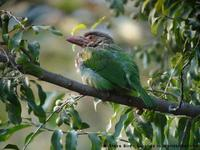 Brown-headed Barbet, Megalaima zeylanica