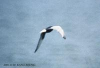 White-Winged Black Tern Sterna lercoptera 흰죽지갈매기