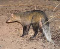 Photograph of a white tailed mongoose