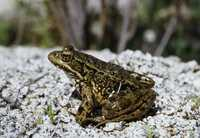 : Rana aurora draytonii; Red-legged Frog