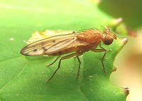 Opomyza florum - yellow cereal fly