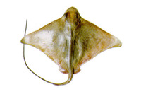 Myliobatis goodei, Southern eagle ray: fisheries