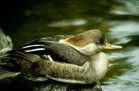 Mergus cucullatus - Hooded Merganser