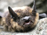 Eptesicus nilssonii - Northern Bat