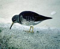 Image of: Calidris maritima (purple sandpiper)