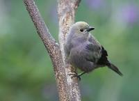Palm Tanager (Thraupis palmarum) photo