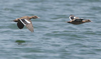 Bernier's Teal (Anas bernieri) photo