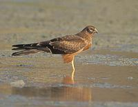 Montagu's Harrier (Circus pygargus) photo