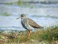 Common Redshank - Tringa totanus