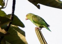 Cobalt-winged Parakeet - Brotogeris cyanoptera