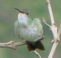 Green-and-white Hummingbird - Leucippus viridicauda