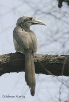 Indian Gray Hornbill - Ocyceros birostris