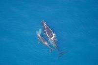aerial view of North Atlantic right whale off Florida coast