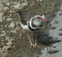 Three-banded Plover p.130