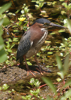 : Butorides virescens; Green Heron