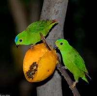 : Loriculus galgulus; Blue-crowned Hanging-parrot
