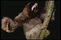 : Bradypus tridactylus; Three-toed Tree Sloth