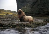Image of: Eumetopias jubatus (Steller sea lion)