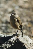 Image of: Cercomela sordida (moorland chat)