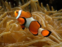 Amphiprion percula - Blackfinned Clownfish