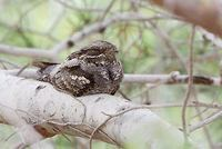 European Nightjar (Caprimulgus europaeus) photo