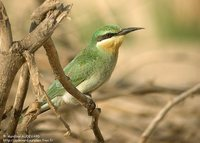 Blue-cheeked Bee-eater - Merops persicus