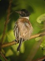 Black-crested antshrike male