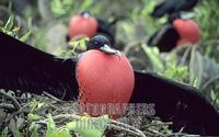 Male Great Frigate Bird Galapagos Displaying stock photo