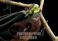 A flying fox ( Pteropus vampyrus ) feeding on wild figs ( Ficus sp . ) in Borneo . stock photo