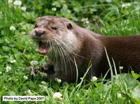 Eurasian Otter (the same species as in the UK)
