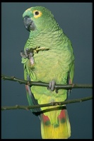 : Amazona farinosa; Mealy Or Blue-crowned Parrot