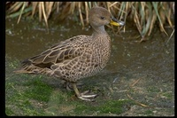 : Anas georgica georgica; Yellow-billed Pintail