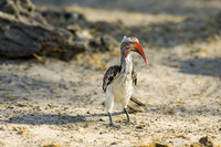 : Tockus erythrorhynchus; Red Billed Hornbill