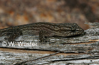 : Goggia lineata; Striped Dwarf Leaf-toed Gecko